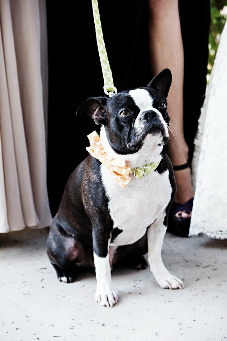 Wedding dog with polka dot bow tie leash