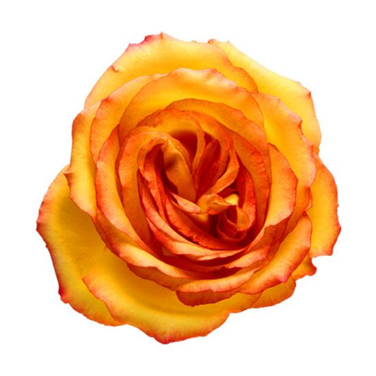Yellow rose flower with orange edges