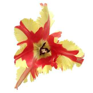Red and yellow parrot tulip flower