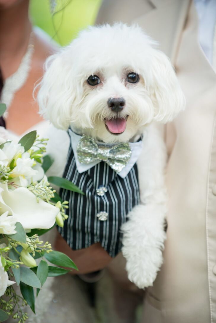 12 times animals dressed up like humans for the wedding 3 this maltese pup who may have put the first two to shame with his glitzy look ombrellifo Choice Image