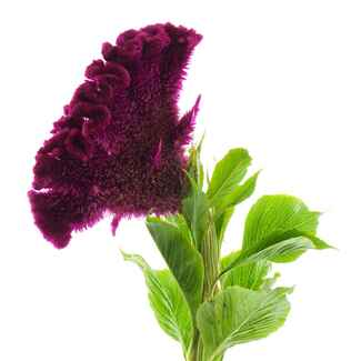 Dark purple coxcomb