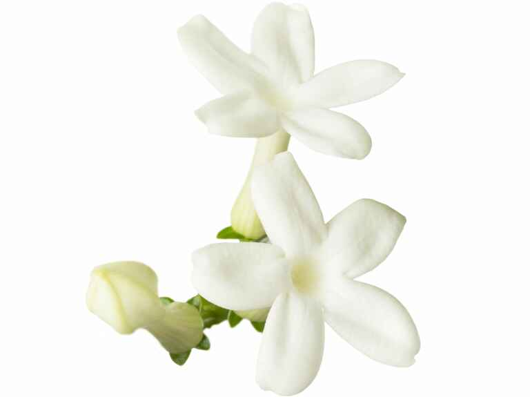 White stephanotis flowers