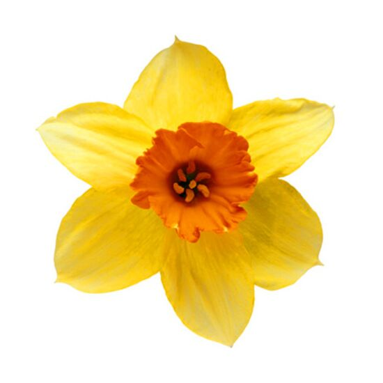 Yellow daffodil also known as narcissus, paperwhite, jonquil)