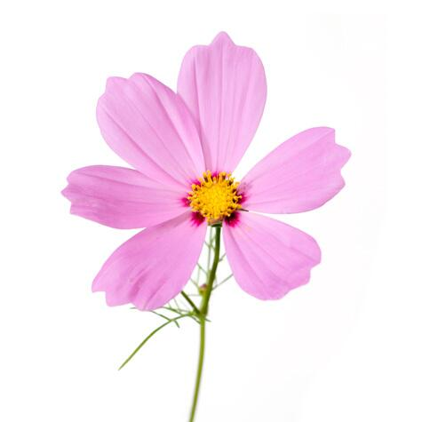 pink cosmo flower