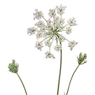 White Queen Anne's lace flowers