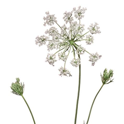 white queen anne's lace