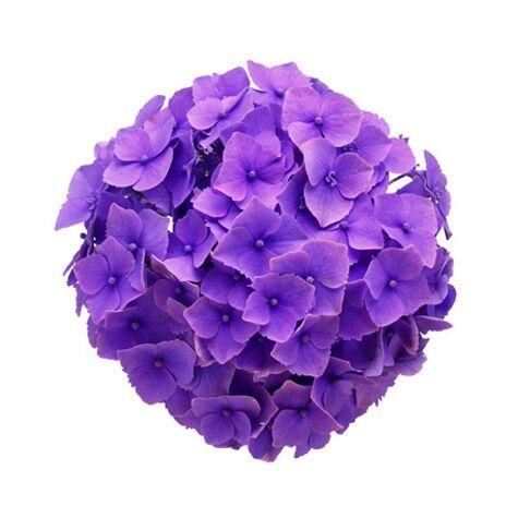 hydrangea purple hydrangea flowers