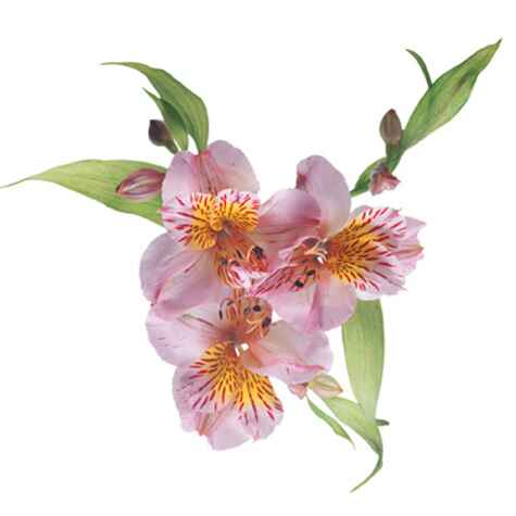 Alstroemeria flower (also known as Peruvian lily)