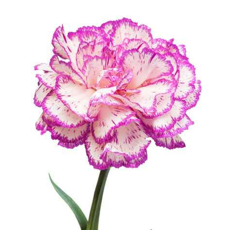 Pink edged carnation