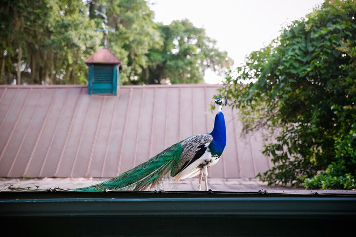 During cocktail hour, the plantation's resident peacock made a surprise appearance.