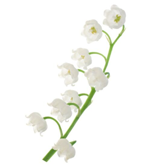 White lily of the valley flower