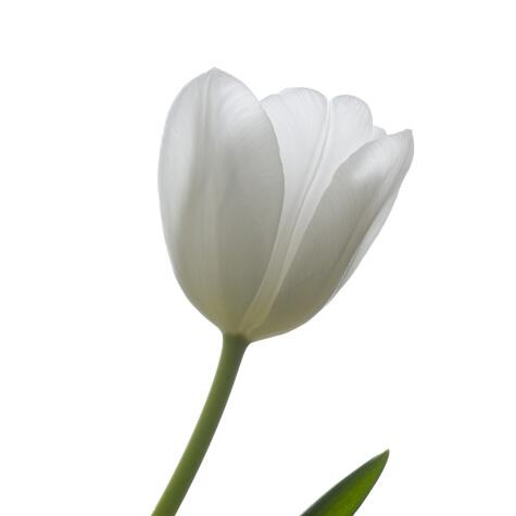 white french tulip